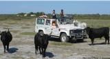 grauduroi-pierrot-le-camarguais-safari-108