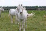 le-grau-du-roi-chevaux-camargue-le-boucanet-104