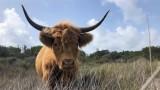 vache-highland-cattle-7980