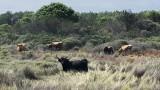 vache-highland-cattle2-7979
