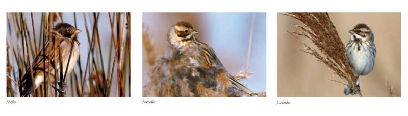 oiseaux-extrbd09-bruant-5426